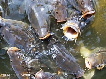 Aquarien und terrarienfreunde seerose frechen e v der for Fische naturteich